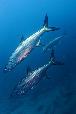 Tarpon (Megalops atlanticus), La Poza, Xkalac Reefs National Park, Caribbean region, Mexico, Vulnerable species.