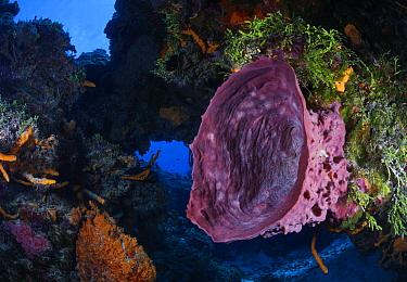 Giant barrel sponge (Xestospongia muta), Cozumel Island, Caribbean Sea, Mexico.