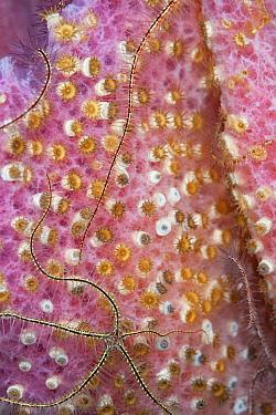 Sponge brittle star (Ophiothrix suensonii) over Pink Vase sponge (Niphates digitalis), Sponge zoanthid (Parazoanthus parasiticus) colonizing sponge, Cozumel Island, Caribbean Sea, Mexico.