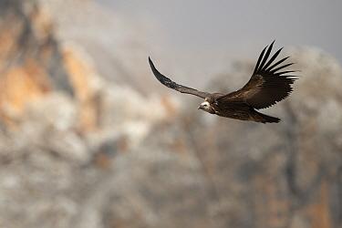 Himalayan griffon vulture (Gyps himalayensis), Angsai Nature Reserve (Valley of the Cats), Sanjiangyuan National Nature Reserve, Tibetan Plateau, Qinghai, China