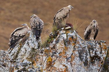 Himalayan griffon vulture (Gyps himalayensis) Angsai Nature Reserve (Valley of the Cats), Sanjiangyuan National Nature Reserve, Tibetan Plateau, Qinghai, China
