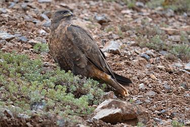 Upland buzzard (Buteo hemilasius) Angsai Nature Reserve (Valley of the Cats), Sanjiangyuan National Nature Reserve, Tibetan Plateau, Qinghai, China