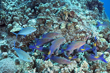 Hunting coalition of Blue goatfish ( Parupeneus cyclostomus ) with Bluefin jacks ( Caranx melampygus ) Kohanaiki, North Kona, Hawaii. The goatfish probe inside coral crevices using sensory barbels whi...