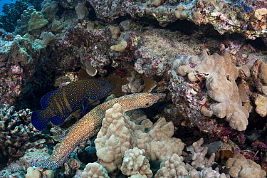 Hunting coalition of Peacock grouper, (Cephalopholis argus) and Whitemouth moray eel, (Gymnothorax meleagris) Kohanaiki, North Kona, Big Island, Hawaii. The eel hunts inside the reef crevices while th...