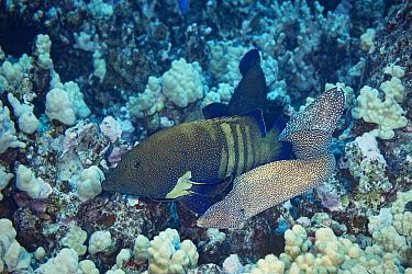 Hunting coalition of Peacock groupers (Cephalopholis argus) and Whitemouth moray eel, (Gymnothorax meleagris) Honokohau, North Kona, Big Island, Hawaii, USA