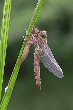 Hairy hawker dragonfly (Brachytron pratense) freshly emerged from exuvia. Norwich, Norfolk, England, UK. May.