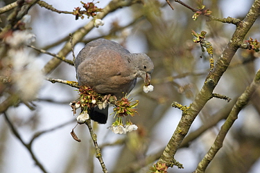 Wood pigeon (Columba palumbus) juvenile feeding on blossom, perched in tree. Norwich, Norfolk, England, UK. May.