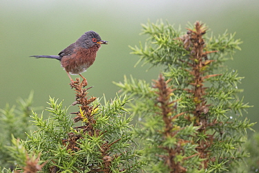 Dartford warbler (Sylvia undata) with Insect prey in beak, perched on Gorse (Ulex sp). Minsmere, Suffolk, England, UK. July.