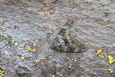 Spruce carpet moth (Thera britannica) resting on bark. Norwich, Norfolk, England, UK. May.