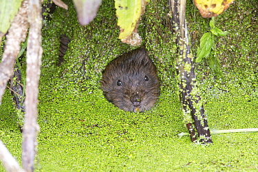 Water vole (Arvicola amphibius) looking out of hole in root curtain covered with Duckweed (Lemna sp). Norwich, Norfolk, England, UK. May.
