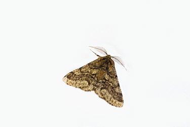 Brindled beauty moth (Lycia hirtaria). Norwich, England, UK. April.