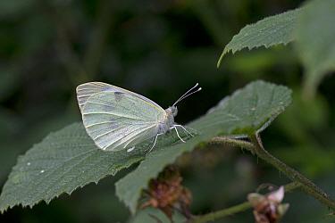 Large white butterfly (Pieris brassicae) resting on Bramble (Rubus fruticosus) leaf. Suffolk, England, UK. July.