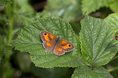 Gatekeeper butterfly (Pyronia tithonus) resting on Bramble (Rubus fruticosus). Thorpe Marshes, Norwich, Norfolk, England, UK. July.