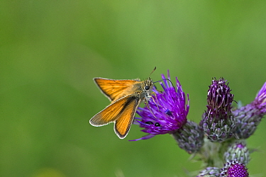 Large skipper butterfly (Ochlodes venatus) nectaring on Marsh thistle (Cirsium palustre). Beeston Common, Norfolk, England, UK. July.