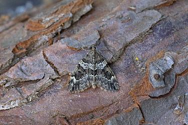 Broken-barred carpet moth (Electrophaes corylata) on bark. Norwich, Norfolk, England, UK. June.