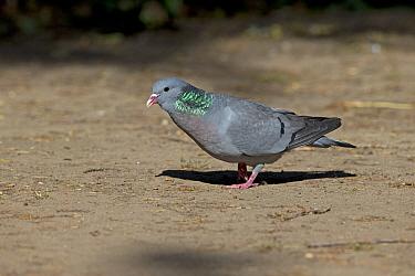 Stock dove (Columba oenas) male. Norwich, Norfolk, England, UK. June.