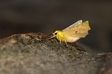 Canary-shouldered thorn moth (Ennomos alniaria). Norfolk, England, UK. August. Focus stacked image