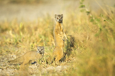 Yellow mongoose (Cynictis penicillata) with baby. Savuti, Chobe National Park, Botswana.