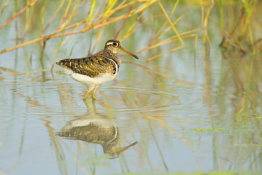 Greater painted-snipe (Rostratula benghalensis) male reflected in water. Savuti, Chobe National Park, Botswana.