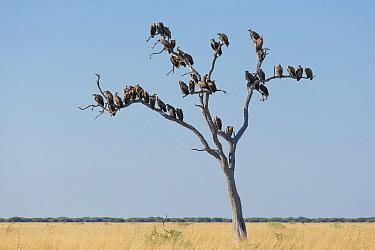 White-backed vulture (Gyps africanus) flock perching in dead tree in savannah. Savuti, Chobe National Park, Botswana.