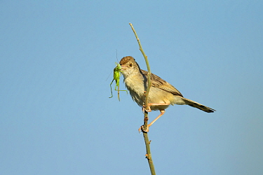 Zitting cisticola (Cisticola juncidis) with Cricket prey in beak, perched on branch. Savuti, Botswana.