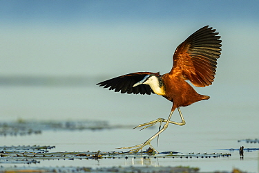 African jacana (Actophilornis africanus) in flight, landing on lilypads. Chobe River, Chobe National Park, Botswana.