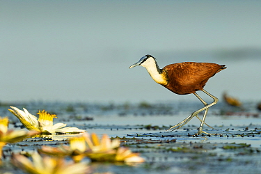 African jacana (Actophilornis africanus) walking on lilypads. Chobe River, Chobe National Park, Botswana.