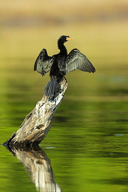 Reed cormorant (Microcarbo africanus) drying wings, perched on tree snag above water. Chobe River, Chobe National Park, Botswana.