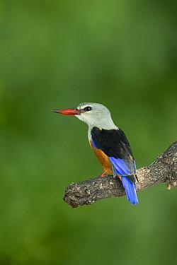 Grey-headed kingfisher (Halcyon leucocephala) perched on branch. Chobe River, Chobe National Park, Botswana.