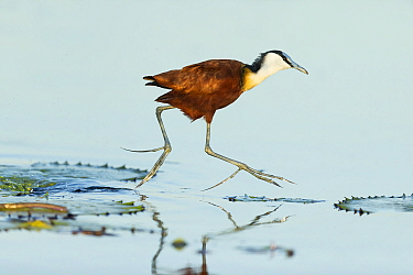 African jacana (Actophilornis africanus) walking across lilypads. Chobe River, Chobe National Park, Botswana.