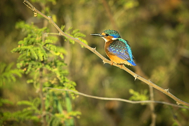 Malachite kingfisher (Corythornis cristatus) perched on branch. Chobe River, Chobe National Park, Botswana.