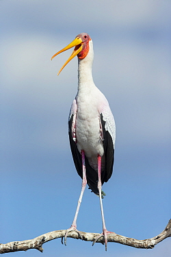 Yellow-billed stork (Mycteria Ibis) calling whilst perched on branch. Chobe River, Chobe National Park, Botswana.