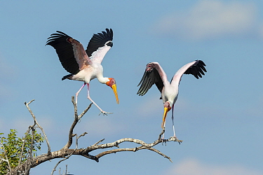 Yellow-billed stork (Mycteria Ibis), two, landing and perched on branch. Chobe River, Chobe National Park, Botswana.