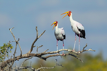 Yellow-billed stork (Mycteria Ibis), two calling whilst perched on branch. Chobe River, Chobe National Park, Botswana.