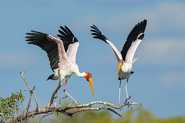 Yellow-billed stork (Mycteria Ibis), two landing on branch. Chobe River, Chobe National Park, Botswana.