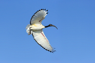 Sacred ibis (Threskiornis aethiopicus) in flight. Savuti, Chobe National Park, Botswana.