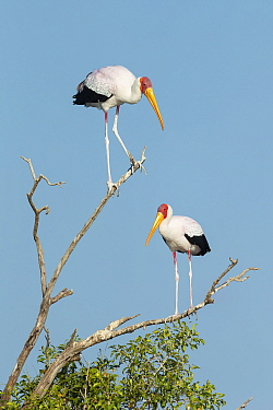 Yellow-billed stork (Mycteria Ibis), two perched in tree. Chobe River, Chobe National Park, Botswana.