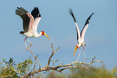 Yellow-billed stork (Mycteria Ibis), two in tree, landing and calling. Chobe River, Chobe National Park, Botswana.