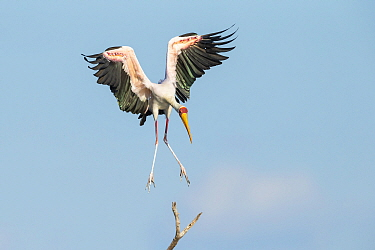 Yellow-billed stork (Mycteria Ibis) in flight, landing on branch. Chobe River, Chobe National Park, Botswana