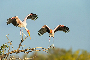 Yellow-billed stork (Mycteria Ibis), two perched on branch. Chobe River, Chobe National Park, Botswana.