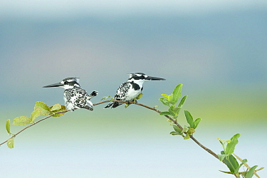 Pied kingfisher (Ceryle rudis) pair perched on branch, looking in opposite directions. Chobe River, Chobe National Park, Botswana.