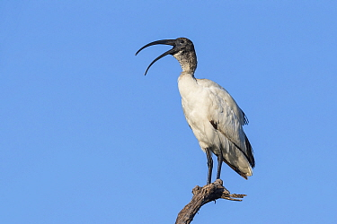 Sacred Ibis (Threskiornis aethiopicus) calling, perched on tree snag. Savuti, Chobe National Park, Botswana.