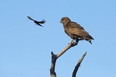Fork-tailed drongo (Dicrurus adsimilis) mobbing Brown snake eagle (Circaetus cinereus) perched on tree snag. Savuti, Chobe National Park, Botswana.