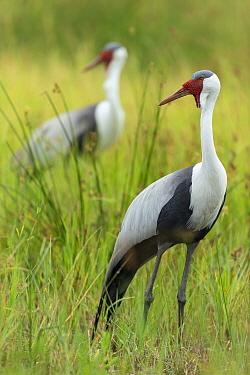 Wattled crane (Grus carunculata) pair standing in grassland. Savuti, Chobe National Park, Botswana.