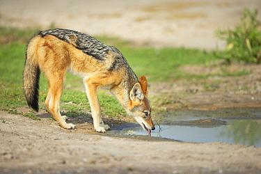 Black-backed jackal (Canis mesomelas) drinking at waterhole. Savuti, Chobe National Park, Botswana.