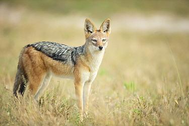 Black-backed jackal (Canis mesomelas) in grassland, Savuti, Chobe National Park, Botswana.