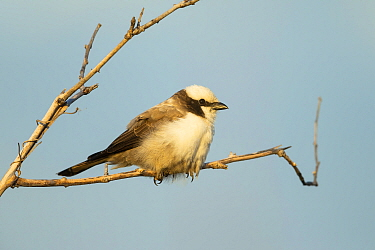Southern white-crowned shrike (Eurocephalus anguitimens) perched on branch. Savuti, Chobe National Park, Botswana.