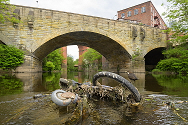 Dipper (Cinclus cinclus) perched on bicycle wheel dumped in river. Manchester University research has found rivers flowing through Greater Manchester to have the highest levels of micro plastic contam...