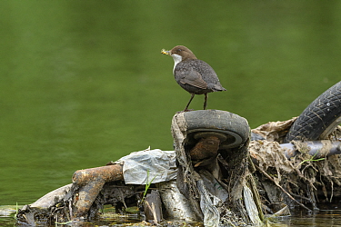 Dipper (Cinclus cinclus) with Mayflies (Ephemeroptera) for chicks in beak, perched on wheel of shopping trolley dumped in river. Research conducted by Manchester University has found rivers flowing th...