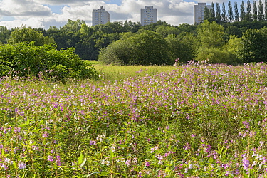 Himalayan balsam (Impatiens glandulifera) flowering in profusion on River Tame floodplain, tower blocks in background. Reddish Vale, Greater Manchester, England, UK. August 2020.